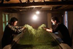 Workers handle Jinjunmei, a quality red leaf tea at a tea factory in the village of Tongmuguan. Kevin Zen / Getty Images