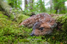 Photo of Black-tailed deer fawn lying in moss covered rainforest, Montague Island, Prince William Sound, Southcentral Alaska, Summer