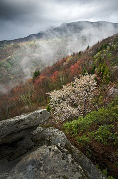 Rough Ridge, Blue Ridge Parkway, NC    Grandfather Mountain is shrouded in lifting fog above the slope of Rough Ridge revealing a blooming Serviceberry tree and the spring colors of maples.