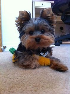 Too cute for words! #threadsence #pebbles #yorkie