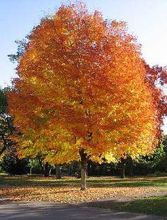 Autumn Blaze Red Maple Tree Facts