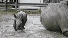 This baby rhino who's trying to find his way: