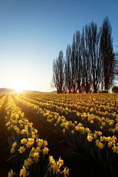 Field of yellow daffodils at sunrise, Skagit Valley, Mount Vernon, Washington