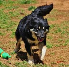 Stella is an adoptable Australian Shepherd Dog in Madison, GA. Stella is the perfect mix of Aussie and Bernese and at 16 months old and almost 60 lbs, this beautiful girl has a playful and loving pers...