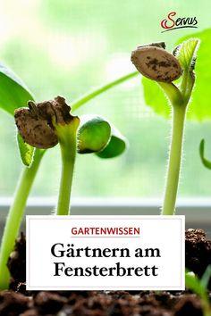 So einfach kann man am Fensterbrett Gartenpflanzen selber ziehen – schon lange bevor der Frühling beginnt. #gartenpflanzen #pflanzenziehen #gemüseselberzüchten #garten #gartentipp #gartentipps #gartenarbeiten #natur #gartenliebe #meingarten #pflanzen #gartenzeit #gartenarbeit #gartenblog #gartengestaltung #natur #gartenfreude #gartenpflege #meingartenreich #naturgarten #gartenideen #gartenidee #servus #servusmagazin #servusinstadtundland Herbs, Window Sill, Yard Maintenance, Natural Garden, Garden Plants, Boards, Simple, Herb, Medicinal Plants