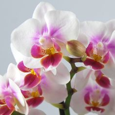 Phalaenopsis 'Sweet Heart'-- Vlinderorchidee