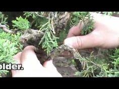 Bonsai Tutorials for Beginners: Instant Bonsai From A Nursery Stock Creeping Juniper - YouTube