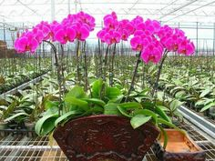 How to Grow and Care for Phalaenopsis Orchids - See more at: http://worldoffloweringplants.com/grow-care-phalaenopsis-orchids