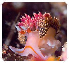 Nudibranch  ; kabuğu olmayan bir salyangoz türüdür.