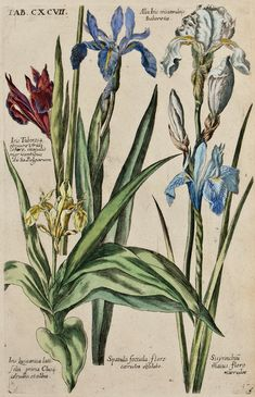 The Antiquarium - Antique Print & Map Gallery - Michael Valentini - Iris Tuberosa - Hand-colored copperplate engraving