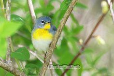 Northern Parula Photo   Warbler Photography   Tropical Theme Art   Bird Watcher Home Office Decor   FeatherWindStudio   Spring Bird Print by FeatherWindStudio on Etsy