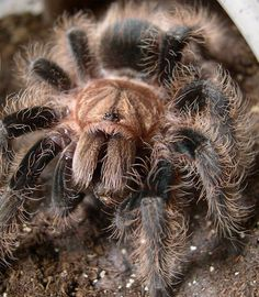 Honduran Curly Hair Tarantula (Brachypelma albopilosum)
