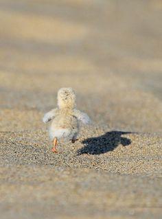Least Tern chick by Ryan Schain, via Flickr