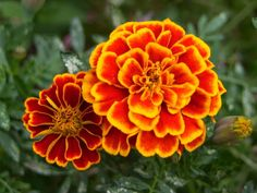 My Momo's favorite flower...and maybe one if I decide to grow...would live. Marigolds.