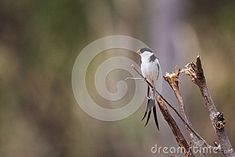 Photo about Pin-tailed Whydah ( male ) ( Vidua macroura ) Liwonde, malawi. Image of tropical, avian, birds - 52148069 Photo Pin, Southern, Africa, Tropical, Birds, Stock Photos, Animals, Image, Animales