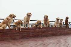 Golden Retriever's family