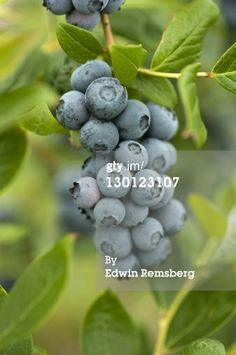 Stock Photo : Blueberries