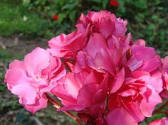 OLEANDER HAUS  Nerium Oleander Gotsis Agamemnon Nerium, Evergreen Shrubs, Small Trees, Rose, Flowers, Plants, Gardening, House, Floral