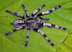 Wonderful Parachute Spider - Poecilotheria miranda - This arboreal tarantula is a member of the family Theraphosidae. It is endemic to the Chhota Nagpur region of eastern India and is now classified as threatened. This unfortunate designation is due to the pet industry and loss of habitat