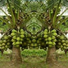 Fertilizer For Coconut Tree When And How To Fertilize