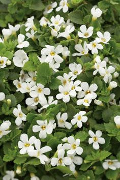 Designs For Garden Flower Beds Sutera Cordata Snowstorm Or Snowstorm White Bacopa - Sometimes Called Chaenostoma Cordata - A Short-Lived Perennial In Zones Requiring Sun, But Grown Other Places As An Annual For Hanging Planters Or Groundcover. Pretty Flowers, Colorful Flowers, White Flowers, Flower Colors, Sun Plants, Container Gardening Vegetables, Replant, White Gardens, Plant Needs