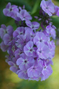 Purple Pleasure Types Of Flowers, Real Flowers, Wild Flowers, Beautiful Flowers, Lavender Flowers, Flowers Nature, Purple Flowers, My Flower, Flower Power