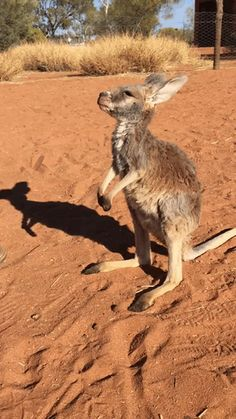 A little Joey demands a hug from one of the rescue team members at Kangaroo Sanctuary reserve located in Alice Springs Australia.