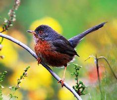 Birds of the World: Dartford warbler