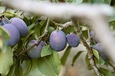 Har du et gammelt plommetre du vurderer å hogge fordi frukten ikke smaker godt? Det er ikke sikkert det er treet det er noe galt med.