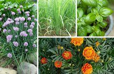 15 Pest Repelling Plants For Your Garden Garden Soil, Edible Plants, Garden Pests, Plants, Garden, Catnip Plant, Plants That Repel Flies, Plants That Repel Ants, Planting Herbs