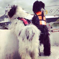 Sailing pups! Bobby & Charlie Tibetan terrier