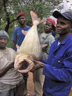 """Fish to avoid: Fishermen have a healthy respect for the Goliath Tigerfish, a monster uniquely adapted to the Congo River that the National Geographic recently described as an example of """"evolution on steroids""""."""
