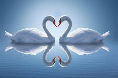 Romantic two swans