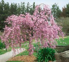 Cherry Tree – Prunus x subhirtella Autumnalis Rosea flowers Nov to Apr - Tree Pruning Weeping Cherry Tree, Flowering Cherry Tree, Cherry Blossom Tree, Blossom Trees, Holly Shrub, Judas Tree, Baumgarten, Tree Pruning, Potted Trees