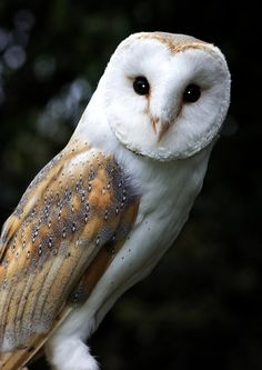 Barn Owl by newfish on DeviantArt Informations About Barn Owl by papatheo on DeviantArt Pin You can easily use my … Beautiful Owl, Animals Beautiful, Cute Animals, Owl Photos, Owl Pictures, Owl Bird, Pet Birds, Buho Tattoo, Owl Wings