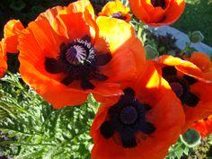 Oriential Poppy