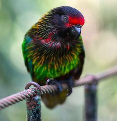 Rainbow parrot - Ubud, Bali, Indonesia Copyright: Patrick HUBERT