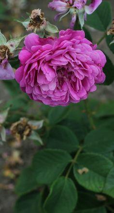Hybrid Multiflora Rose: Rosa 'Mercedes' (Austria-Hungary, before 1885)