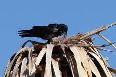 Common Raven - Oasis of Mara, 29 Palms