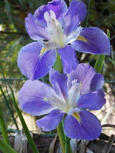 La. iris  --a beautiful sky blue