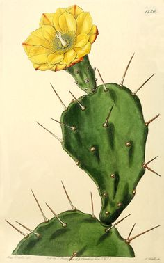 Opuntia vulgaris, or Prickly Pear Cactus. Opuntia vulgaris, or Prickly Pear Cactus. Cactus Drawing, Cactus Painting, Cactus Art, Cactus Flower, Flower Art, Flower Film, Watercolor Cactus, Botanical Drawings, Botanical Prints