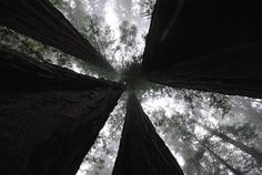 Clumsy Adventures of a Sunshine Guerilla: Picture of the Week- From the Redwood Forests...photo by B