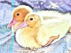 Baby ducklings.