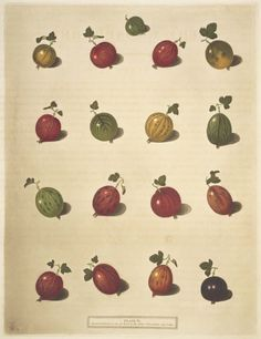 Plate of berries taken from 'Pomona Britannica' (1812). After 	George Brookshaw (1751–1823), Possibly by 	Richard Brookshaw (1736–about 1804).Image and text courtesy MFA Boston.