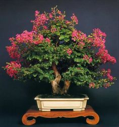 Lagerstroemia speciosa pride of india bonsai  (Jarul Bonsai)