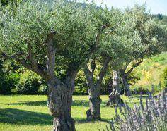Olivier, qu'il soit en terre ou en pot, est certainement l'un des arbres qui connaît le plus de succès actuellement. Entretien, taille, maladie, récolte des olives et arrosage des oliviers, croissance au fil des saisons, voici tous les conseils pour votre olivier.