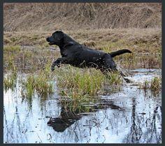 Labrador Reflection ii