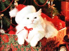 Christmas is a time of cats. OK, that's not strictly accurate, but here's a whole bunch of them acting like it is. Here's wishing a very Merry Christmas to you and to the cats in your life! Christmas Images, Christmas Cats, Christmas Humor, Funny Animal Pictures, Funny Animals, Cat Celebrating, Celebrating Christmas, Balinese Cat, Cat Whisperer