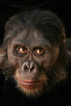 Anatomical reconstruction of the head of Australopithecus afarensis million years old), by John Gurche Reconstructing Ourselves - Visualoop Early Humans, Human Evolution, Cleveland Museum, Archaeological Finds, Cryptozoology, Museum Exhibition, Thing 1, Primates, Anthropology