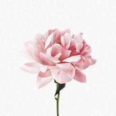 Art Floral, Deco Floral, My Flower, Flower Art, Chanel Art, Peonies Tattoo, Flower Phone Wallpaper, Plant Illustration, Diamond Flower